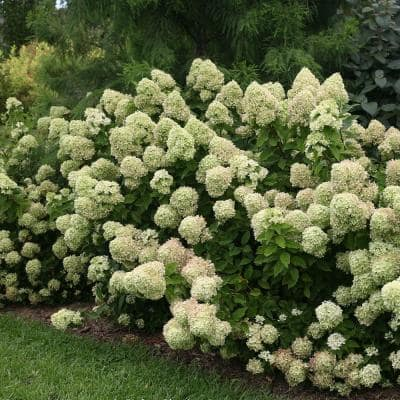 2 Gal. Hydrangea Little Lime Shrub - Lime Green Blooms Age to Red and Pink