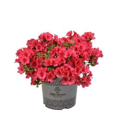 2 Gal. Cherry Pinata Deja Bloom Azalea Flowering Shrub with Light Red Blooms