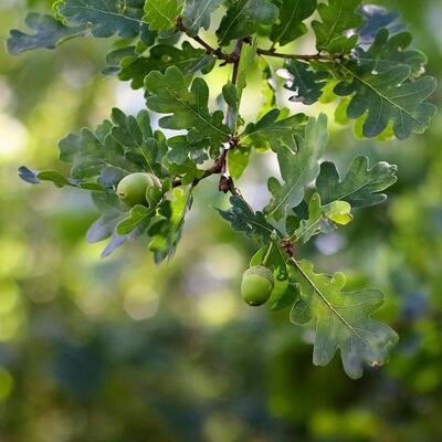 3 in. Deciduous Nutall Oak Tree