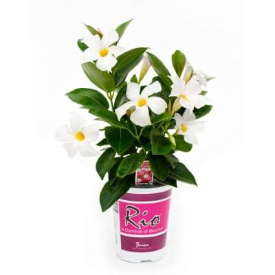 1 Qt. Dipladenia Flowering Annual Shrub with White Blooms
