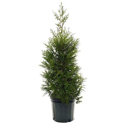 7 Gal. Thuja Green Giant Evergreen Arborvitae Privacy Tree
