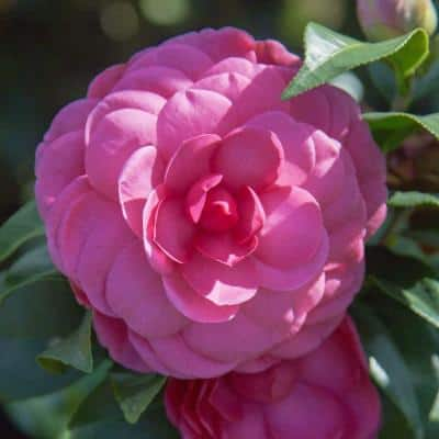 2 Gal. Early Wonder Camellia with Formal Pink Double Blooms