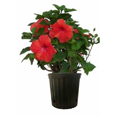 10 in. 26 in. to 32 in. Tall Premium Hibiscus Flowering Bush Grower's Choice Bloom Color Live Outdoor Plant