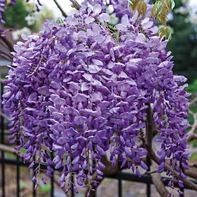 4 in. Blue Moon Reblooming Wisteria, Live Deciduous Plant, Purple Flowering Perennial Vine