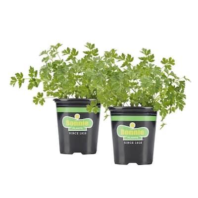 19.3 oz. Flat Italian Parsley Plant 2-Pack