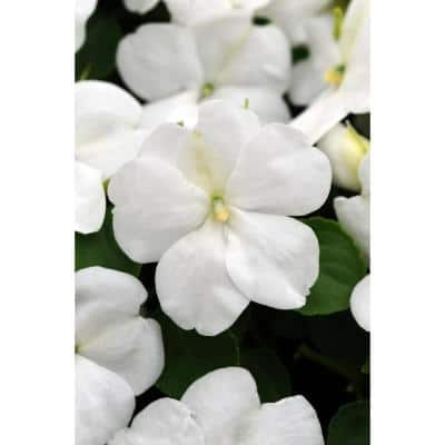 4 in. White Impatien Plant (Pack of 6)