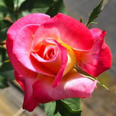 All-Time Favorites Pink Golden Chicago Peace Hybrid Tea Rose