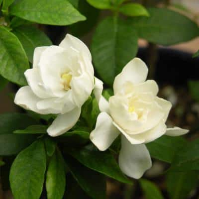 2.5 qt.  Gardenia August Beauty Flowering Shrub with White Blooms