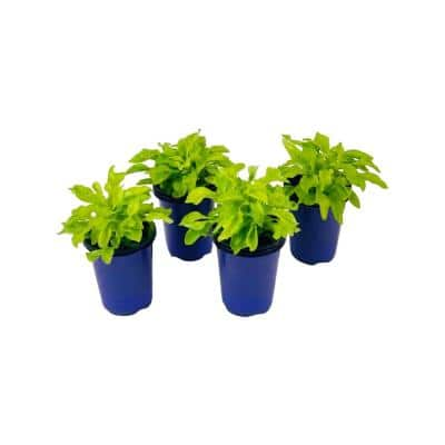 1.38 Pt. Duranta Plant Cuban Gold in 4.5 In. Grower's Pot (4-Plants)