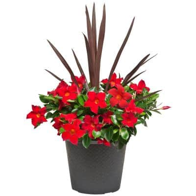 #12 Planter Dipladenia Flowering Annual Shrub with Assorted Blooms Colors and Combinations