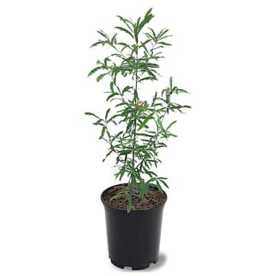 1 Gal. Willow Deciduous Oak Tree