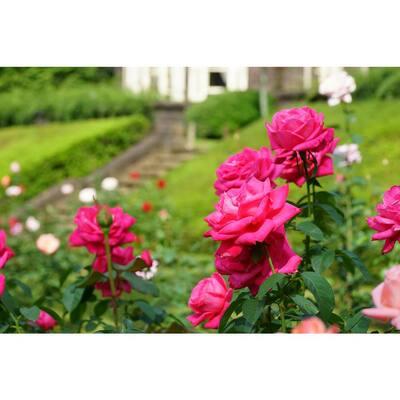 Packaged Rose #1 Grade Fragrant Perfume Delight