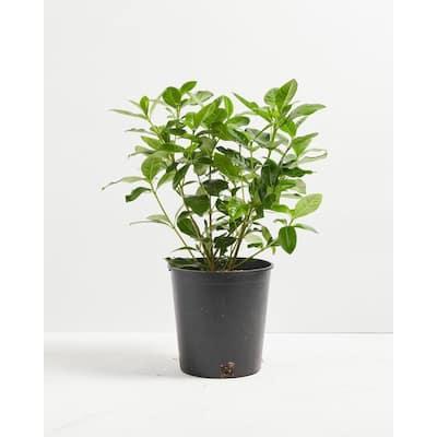 1 Gal. Gardenia Veitchii (Gardenia Jasminoides Veitchii) Plant in Grower Pot