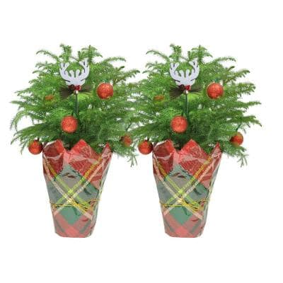 Fresh Norfolk Island Pine in 6 in. Grower Pot with Christmas Wrap and Topper (2-Pack)