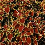 1 Gal. Coleus Wizard Scarlet Plant