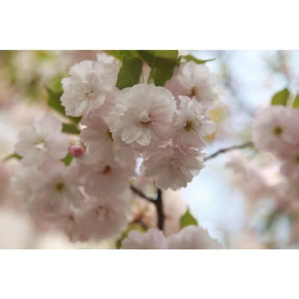 Yoshino Cherry Tree Cost