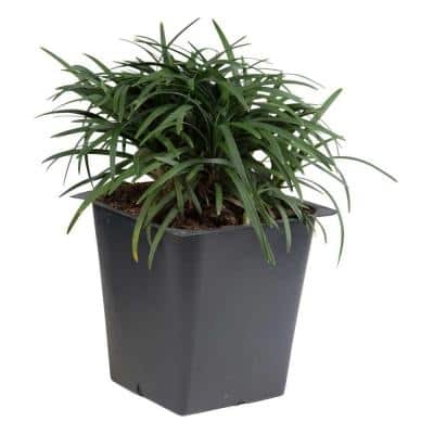Dwarf Mondo Grass 3 1/4 in. Pots (54-Pack) - Groundcover Plant