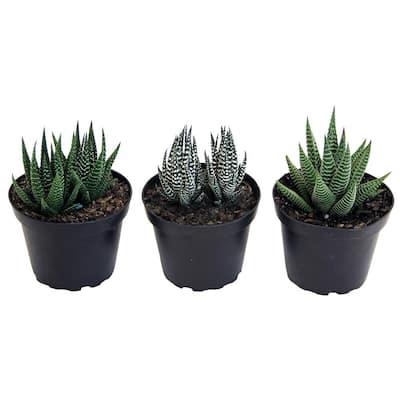 Haworthia Succulent Assortment in 4 in. Grower Pot (3-Pack)