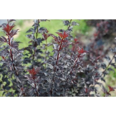 4.5 in. Quart Summer Wine Black Ninebark (Physocarpus) with White Flowers and Black Foliage