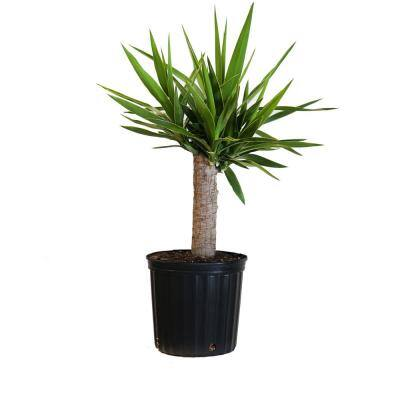 Yucca Cane Plant in 9.25 in. Grower Pot