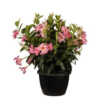 Premium 10 in. Hanging Basket 20 in. to 22 in. Tall Mandevilla Pink Blooming Flower Live Outdoor Plant