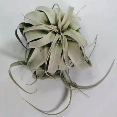 Air Plant Ext.-Large (7 in.) Xerographica Live Airplant Succulent (Tillandsia), Macrame Braided Hanger Plus Mist Sprayer