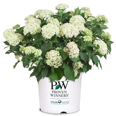 2 Gal. Invincibelle Limetta Hydrangea Shrub with Green to White Flowers