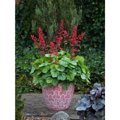 4.5 in. Qt. Dolce Appletini Coral Bells (Heuchera) Live Plant, Green Foliage and Pink Flowers