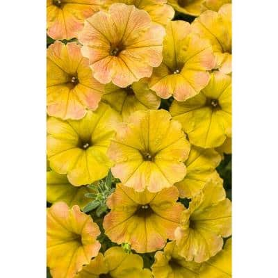 4-Pack, 4.25 in. Grande 4.25 in. Supertunia Honey (Petunia) Live Plant, Yellow and Pink Flowers