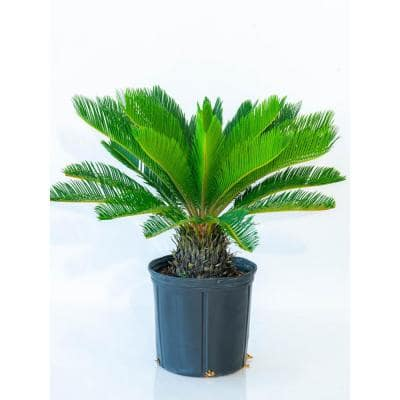 10 in. King Sago Palm Plant in Black Grower Pot