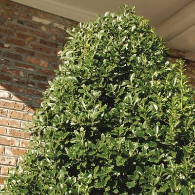 5 Gal. Oakland Japanese Holly(Ilex), Live Evergreen Shrub, Glossy Green Oak-Shaped Leaves