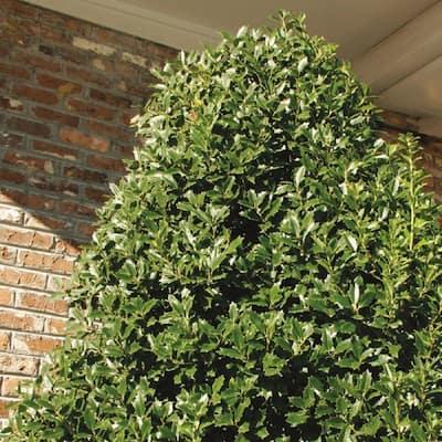 7 Gal. Oakland Japanese Holly(Ilex), Live Evergreen Shrub, Glossy Green Oak-Shaped Leaves