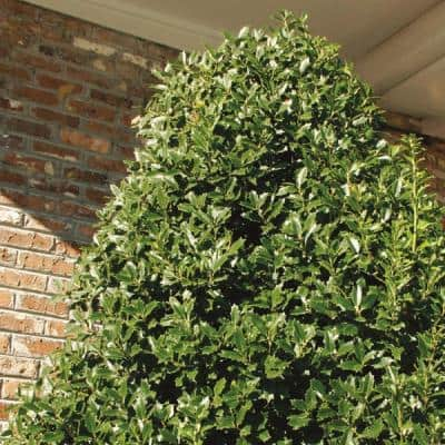 2.5 Qt. Oakland Japanese Holly(Ilex), Live Evergreen Shrub, Glossy Green Oak-Shaped Leaves