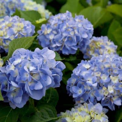 2 Gal. Dear Dolores Hydrangea(Macrophylla) Live Deciduous Shrub, Pink or Blue Mophead Blooms