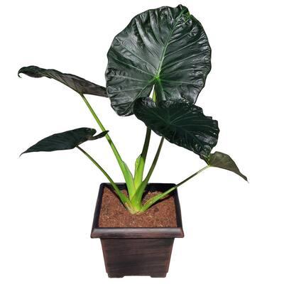 8.25 qt. Partial Tropical Sun Alocasia Plant in 10 in. Decorative Resin Pot