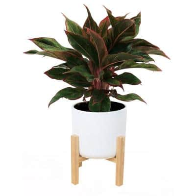 6 in. Siam Aurora Red Aglaonema, Chinese Evergreen Plant in White Mid Century Planter and Stand