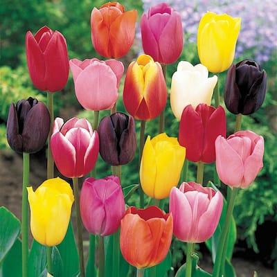 Spring Flowering Tulip Bulbs Mixture (50-Pack)