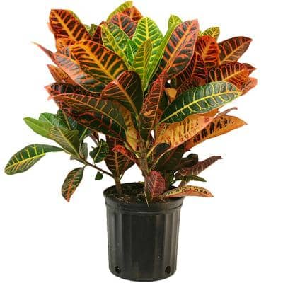 Croton Petra Plant in 10 in. Pot