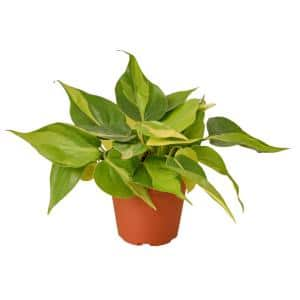 Brasil Philodendron Plant in 4 in. Grower Pot