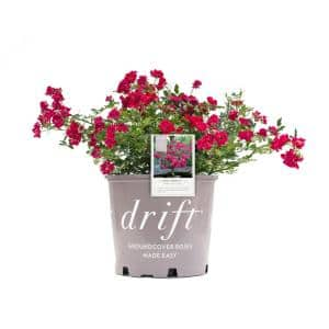 3 Gal. Red Rose with Petite Red Blooms and Green Foliage