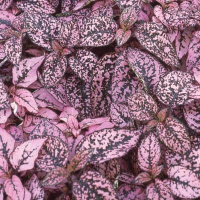 4.5 in. Pink and Green Polka Dot Plant