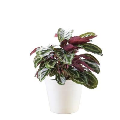 6 in. Vigoro Calathea Plant n White Décor Plastic Pot