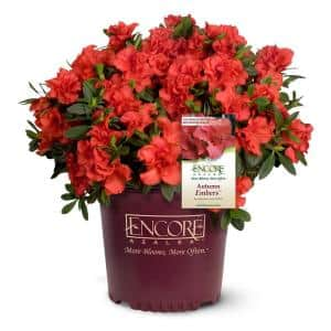 2 Gal. Autumn Embers Shrub With Semi Double Red-Orange Flowers