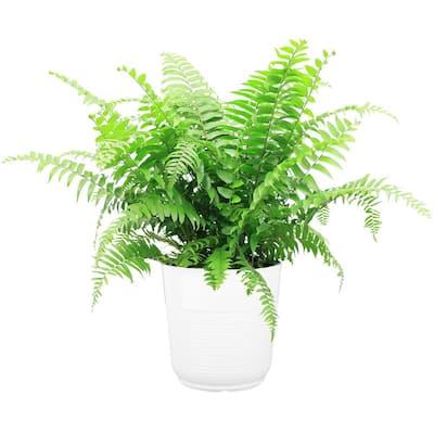 Macho Fern in 9.25 in. White Paradise Planter