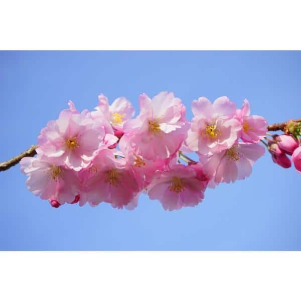 Online Orchards Shirofugen Cherry Blossom Tree Bare Root Flch003 The Home Depot