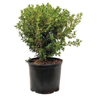 2.5 Gal - Japanese Boxwood, Live Shrub Plant, Glossy Light Green Foliage