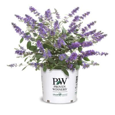2 Gal. Lo and Behold Blue Chip Jr. Buddleia Plant with Blue Flowers