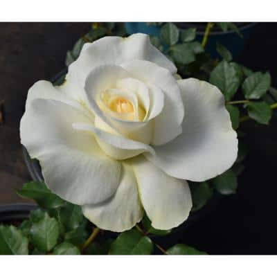 2 Gal. Shirley's Bouquet Hybrid Tea Rose with White Flowers