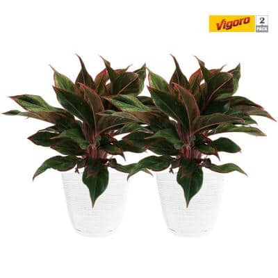 6 in. Grower's Choice Aglaonema Chinese Evergreen Indoor Plant in Small White Ribbed Decor Planter (2-Pack)