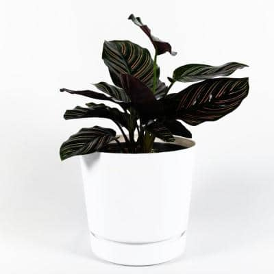 Pinstripe Calathea Live Plant Inside 6 in. Decorator White Contemporary Planter w/Built in Saucer
